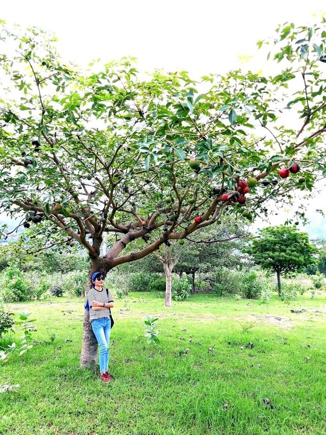 Cây trôm Ninh Thuận