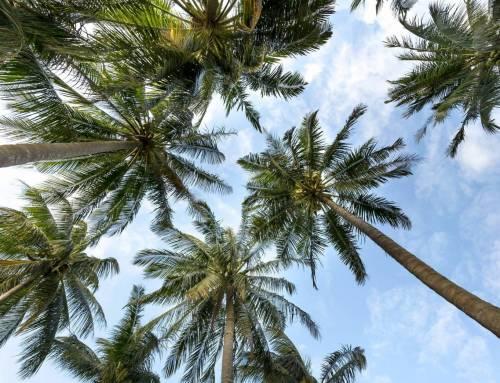 Dừa Bến Tre – Quê nhà trong tim tôi!