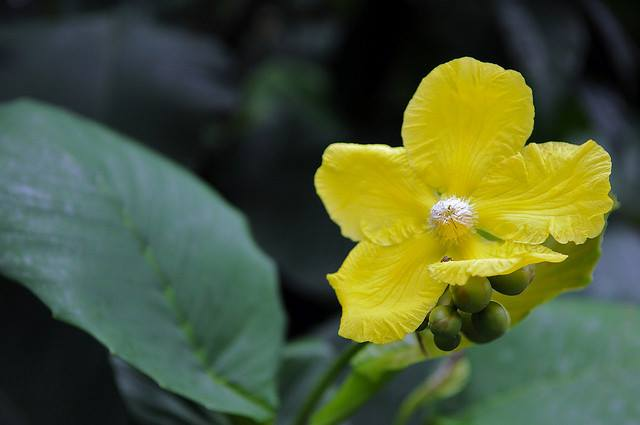 Quốc hoa Brunei