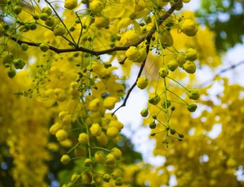 Quốc hoa Thái Lan – Muồng hoàng yến